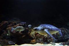 Η χελώνα πράσινης θάλασσας κολυμπά υποβρύχιο Στοκ φωτογραφίες με δικαίωμα ελεύθερης χρήσης
