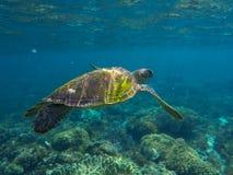 Η χελώνα πράσινης θάλασσας κλείνει τη φωτογραφία Κινηματογράφηση σε πρώτο πλάνο χελωνών θάλασσας Τροπική άγρια φύση θάλασσας Στοκ Εικόνα