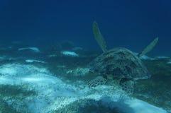 Η χελώνα 2 πράσινης θάλασσας Στοκ Εικόνες