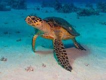 Η χελώνα στη Ερυθρά Θάλασσα βουτά Στοκ Φωτογραφία