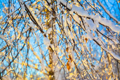 Η χιονισμένη σημύδα διακλαδίζεται στον ήλιο Στοκ Φωτογραφία