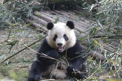 Η χνουδωτή γιγαντιαία Panda τρώει τα φύλλα μπαμπού με Cub της, Chengdu, Κίνα Στοκ εικόνα με δικαίωμα ελεύθερης χρήσης