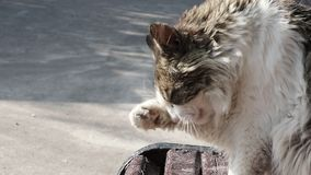 Η χνουδωτή γκρίζα γάτα πλένει και γλείφει το πόδι της και κάθεται σε έναν ξύλινο πάγκο έξω, κινηματογράφηση σε πρώτο πλάνο απόθεμα βίντεο