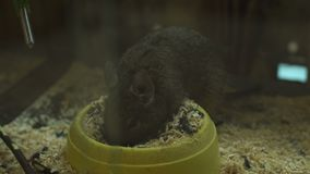 Η χνουδωτή χαριτωμένη χάμστερ τρώει τη συνεδρίαση τροφίμων του σε ένα κλουβί, κατοικίδια ζώα   φιλμ μικρού μήκους
