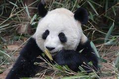 Η χνουδωτή Panda αντέχει σε Chengdu, Κίνα Στοκ Φωτογραφίες