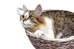 Η χνουδωτή γάτα βρίσκεται σε μια ψάθινη κινηματογράφηση σε πρώτο πλάνο καλαθιών σε ένα άσπρο backgroun Στοκ εικόνα με δικαίωμα ελεύθερης χρήσης