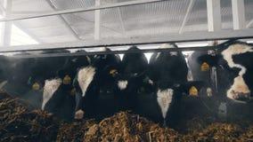 Η χορτονομή τρώεται από τις αγελάδες σε μια σιταποθήκη φιλμ μικρού μήκους