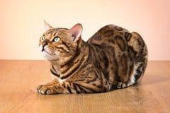 1c857b878b33 Η χρυσή γάτα της Βεγγάλης στο καφετί υπόβαθρο στοκ φωτογραφία με δικαίωμα  ελεύθερης χρήσης