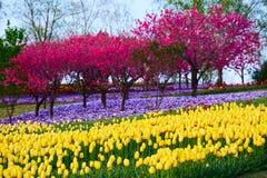 Η χρυσή τουλίπα και τα πορφυρά δέντρα στοκ φωτογραφία με δικαίωμα ελεύθερης χρήσης