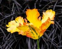 Η χρυσή τουλίπα παπαγάλων του Τέξας, Tulipa Χ hybrida, με τη μαύρη χλόη της Mondo, plniscapus «Nigrescens» Ophiopogon κλείστε επά Στοκ Φωτογραφία