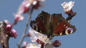 Η χρωματισμένη γυναικεία πεταλούδα θηλάζει το νέκταρ από το άνθος βερίκοκων φιλμ μικρού μήκους