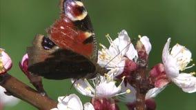 Η χρωματισμένη γυναικεία πεταλούδα θηλάζει το νέκταρ από το άνθος βερίκοκων απόθεμα βίντεο