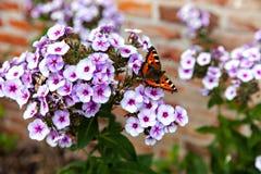 Η χρωματισμένη συνεδρίαση πεταλούδων στο άσπρο phlox στοκ εικόνες