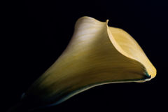Η χλωμή Calla Lilly Στοκ φωτογραφία με δικαίωμα ελεύθερης χρήσης