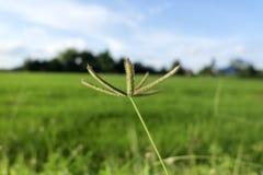 Η χλόη είναι στον τομέα ρυζιού, βάθος του τομέα Στοκ Φωτογραφία
