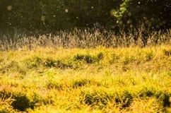 Η χλόη τομέων που εισβάλλεται ανθίζει το φως θερινών ήλιων Στοκ Φωτογραφίες