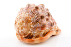 Η ωκεάνια Shell Στοκ Εικόνα