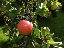 Η ωριμάζοντας Apple σε έναν κήπο Lancashire Στοκ Εικόνα