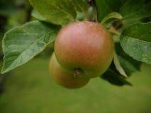 Η ωριμάζοντας Apple σε έναν κήπο Lancashire Στοκ Εικόνες