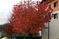 Η όμορφη άποψη διαβασμένος βγάζει φύλλα το δέντρο στην εποχή φθινοπώρου Στοκ Εικόνες