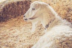 Η όμορφη άσπρη αίγα με την πολυτελή γούνα χαλαρώνει μεταξύ των δεμάτων του σανού στην έκθεση χωρών Στοκ φωτογραφία με δικαίωμα ελεύθερης χρήσης
