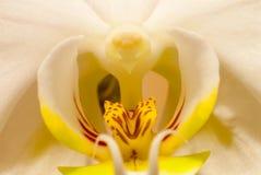 Η όμορφη άσπρη μακροεντολή phalaenopsis ορχιδεών aphrodite στο κέντρο Στοκ εικόνα με δικαίωμα ελεύθερης χρήσης
