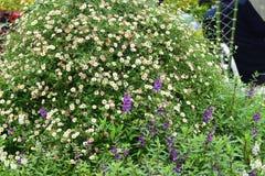 Η όμορφη άσπρη χλόη στον κήπο Στοκ Εικόνα