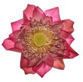 Η όμορφη ανοικτό μωβ Daisy - άνθηση Osteospermum - λουλούδι Στοκ φωτογραφία με δικαίωμα ελεύθερης χρήσης