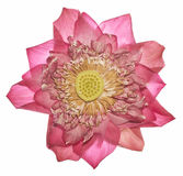 Η όμορφη ανοικτό μωβ Daisy - άνθηση Osteospermum - λουλούδι Στοκ Εικόνα