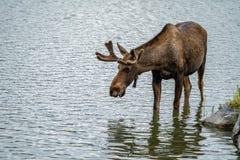 Η όμορφη από την Αλάσκα άλκη πίνει το νερό από ένα ρεύμα μια θερινή ημέρα στοκ φωτογραφίες με δικαίωμα ελεύθερης χρήσης