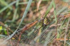 Η όμορφη αράχνη με μαύρος και κίτρινος σε ένα spiderweb στο φως πρωινού με τη δροσιά μειώνεται Στοκ Εικόνα