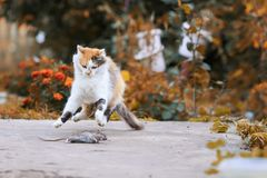Η όμορφη γάτα επίασε ένα ποντίκι στο θερινό κήπο και τη διασκέδαση και το j στοκ φωτογραφία