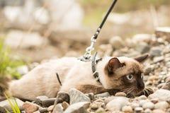 Η όμορφη γάτα, σιαμέζα, με τα μπλε μάτια βρίσκεται Στοκ Φωτογραφίες