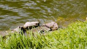 Η όμορφη γκρίζα πάπια είναι στην πράσινη χλόη και πηγαίνει κάτω στο νερό και κολυμπά έπειτα μέσω του νερού Πολύ συμπαθητική κινημ απόθεμα βίντεο