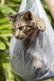 Η όμορφη γκρίζα τιγρέ γάτα είναι μέσα σε μια πλαστική τσάντα, κλείνει επάνω στοκ φωτογραφία με δικαίωμα ελεύθερης χρήσης