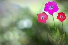 Η όμορφη ζωντανή πετούνια με κενό στο αριστερό στα φυσικά φύλλα και τον ουρανό θόλωσε bokeh το υπόβαθρο Floral λουλούδια άνοιξης  στοκ εικόνες με δικαίωμα ελεύθερης χρήσης
