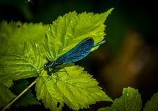 Η όμορφη λιβελλούλη virgo Calopteryx demoiselle Στοκ φωτογραφία με δικαίωμα ελεύθερης χρήσης