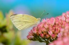 Η όμορφη κίτρινη πεταλούδα συλλέγει το νέκταρ στον οφθαλμό λουλουδιών Στοκ Φωτογραφία