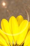 Η όμορφη κίτρινη Daisy Στοκ εικόνες με δικαίωμα ελεύθερης χρήσης