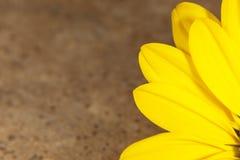 Η όμορφη κίτρινη Daisy Στοκ Φωτογραφίες
