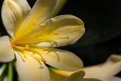 Η όμορφη κίτρινη Lilly που φωτίζεται από τον ήλιο στοκ εικόνες