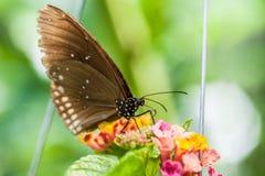 Η όμορφη καφετιά πεταλούδα απορροφά το νέκταρ από το λουλούδι στοκ φωτογραφία με δικαίωμα ελεύθερης χρήσης