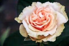 η όμορφη κρέμα αυξήθηκε Στοκ φωτογραφία με δικαίωμα ελεύθερης χρήσης