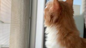 Η γάτα φαίνεται έξω το παράθυρο απόθεμα βίντεο