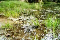 Η όμορφη λίμνη με τον πράσινο λωτό βγάζει φύλλα και χλόη Στοκ Εικόνες