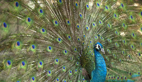 η όμορφη λεπτομέρεια επενδύει με φτερά peacock Στοκ Εικόνα