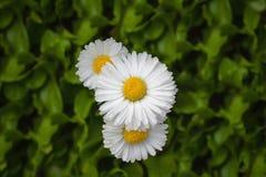Η όμορφη μαργαρίτα τρία ανθίζει chamomile Στοκ φωτογραφία με δικαίωμα ελεύθερης χρήσης