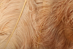 Η όμορφη μαλακή στρουθοκάμηλος κρέμας επενδύει με φτερά το υπόβαθρο Στοκ εικόνα με δικαίωμα ελεύθερης χρήσης