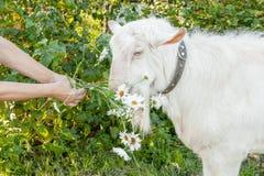 Η όμορφη νέα άσπρη αίγα μασά ένα chamomile λουλούδι σε ένα όμορφο πράσινο υπόβαθρο στοκ φωτογραφίες με δικαίωμα ελεύθερης χρήσης
