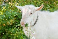 Η όμορφη νέα άσπρη αίγα μασά ένα chamomile λουλούδι σε ένα όμορφο πράσινο υπόβαθρο στοκ φωτογραφία με δικαίωμα ελεύθερης χρήσης